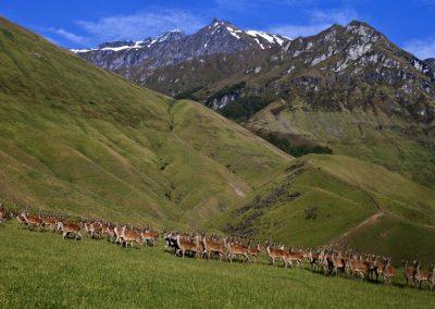 Deer at cattle flat station, Wanaka NZ